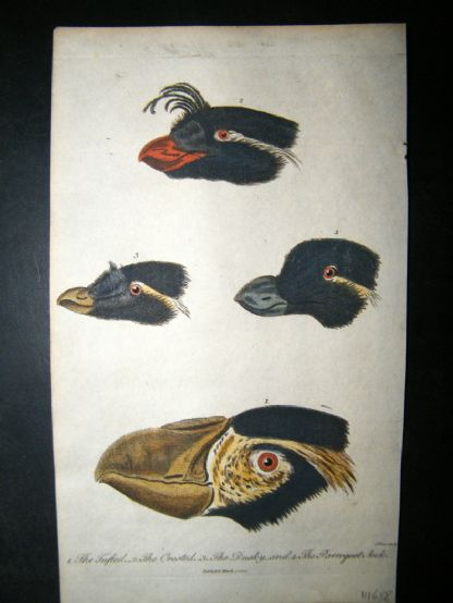 After George Edwards C1800 Hand Col Print. Bird Beaks & Heads. Parroquet Awk etc | Albion Prints